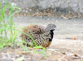 Barred Buttonquail taking a dust bath