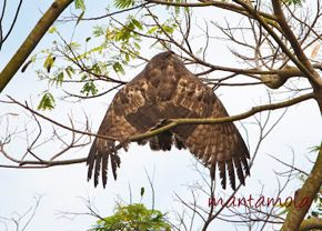 Oriental Honey-buzzard loses its balance