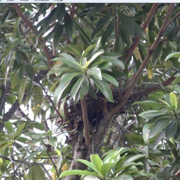 An empty nest, a bee hive and an Oriental Honey-buzzard