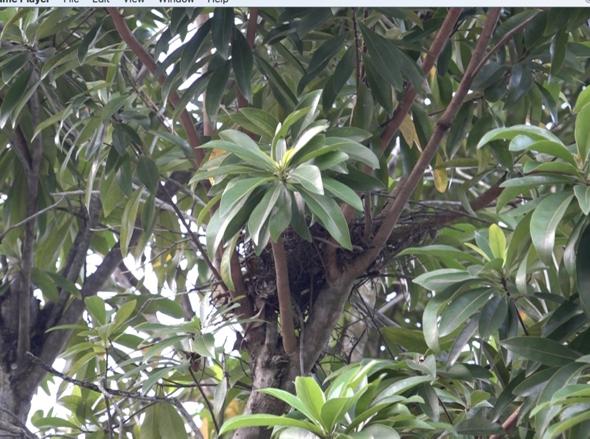 BuzzardOH? nest