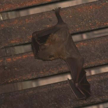 Bats in my porch: 22. Mating again