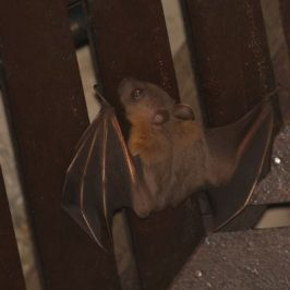Bats in my porch: 14. When is the bat's head pointing up?
