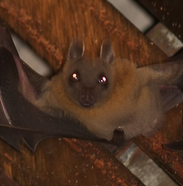 Bats roosting in my porch: 6. Morphology of the Common Fruit Bat