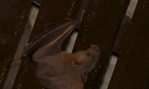 Bats in my Porch: 15. Is the roosting site also a salt lick?
