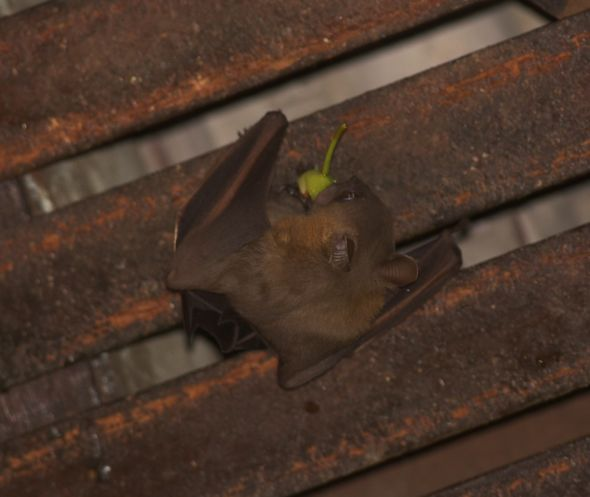 Bats in my porch: 11. Figs