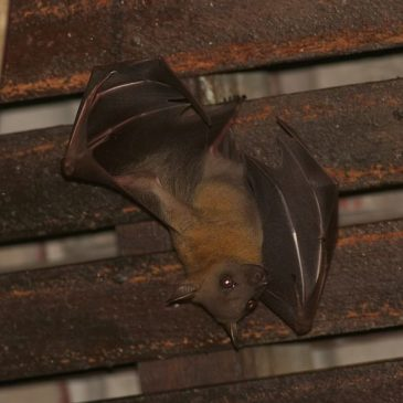 Bats roosting in my porch: 9. Mating