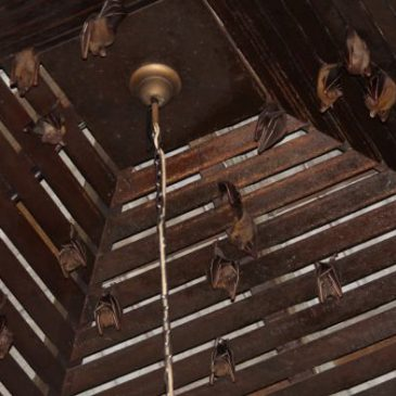 Bats roosting in my porch: 7. Arrival of the Common Fruit Bats