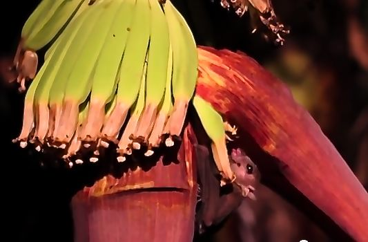 Cave Nectar Bats visiting flowers of Musa 'Cavendish'