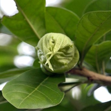 The Calabash Tree: 2. Flowers and bees