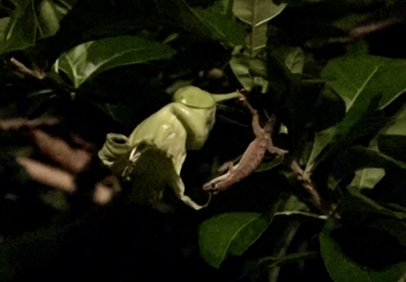 CalabashTree fo-SpottedHouseGecko