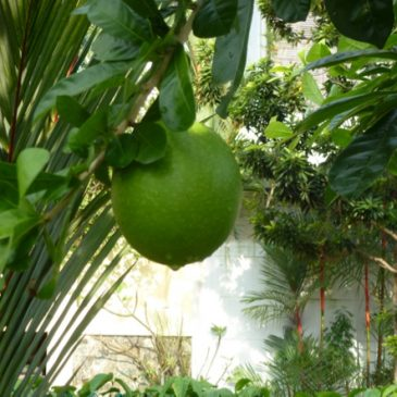 The Calabash Tree: 4. Extracting fruit juice