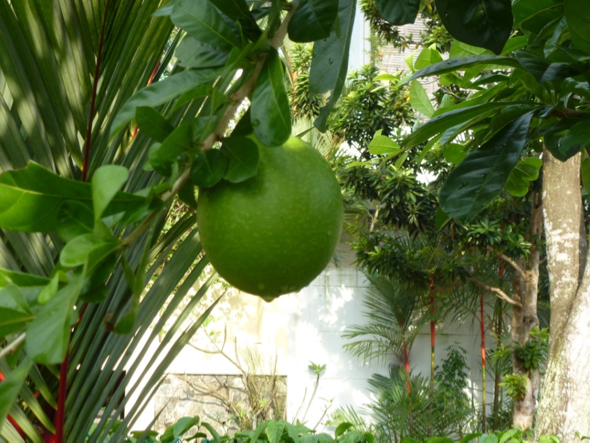 Large fruit hanging from a slender branch.