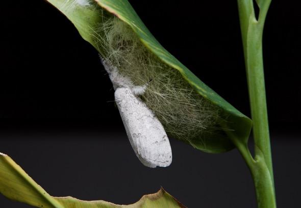 Calliteara horsfieldii-moth