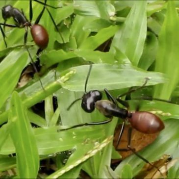 Giant Forest Ants (Camponotus gigas)