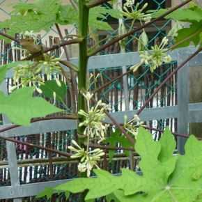 how to turn a paw paw plant female