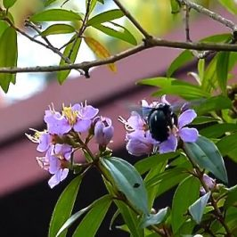 Carpenter Bees visiting flowers of <em>Melastoma malabathricum</em>