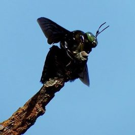 CARPENTER BEE SUNBATHING