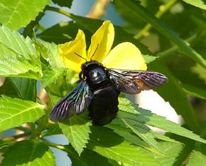 Carpenter Bee And Yellow Alder Plant