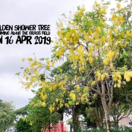 Golden Shower tree (<em>Cassia fistula</em>)