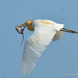 Cattle Egret – rat prey