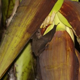 Bats and the two banana plants that were flowering: Part 2