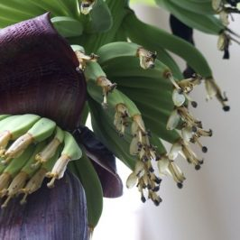 The  banana (<em>Musa</em> 'Cavendish') inflorescence