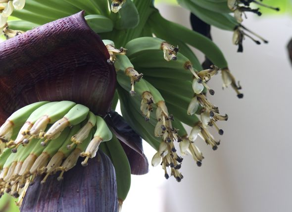 The  banana (Musa 'Cavendish') inflorescence