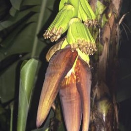 The  banana (<em>Musa</em> &#8216;Cavendish&#8217;) inflorescence