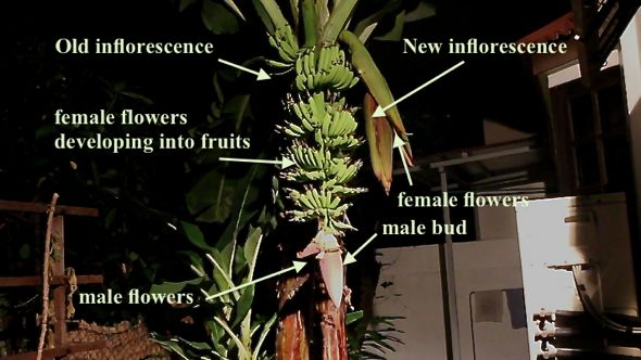 Bats and the two banana plants that were flowering: Part 1