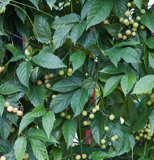 Cayratia mollissim -fence-fr [wyc]