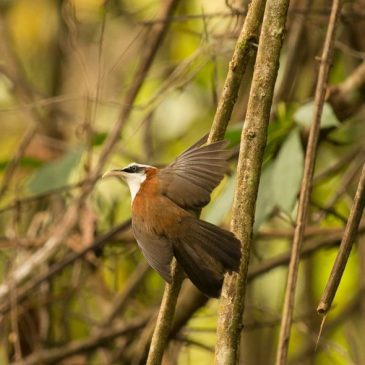 Chestnut-backed Scimitar-babbler: Opinion solicited on this behaviour