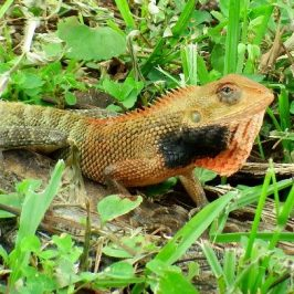 CHANGEABLE LIZARD – MALE DISPLAYS