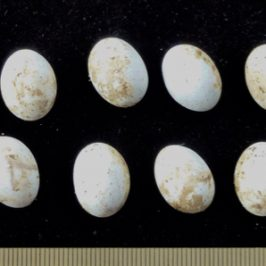 Changeable Lizard – eggs and young