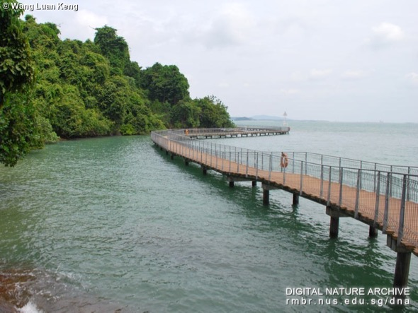 Chek Jawa boardwalk that was built after the reprieve (Photo credit: Wang Luan Keng)