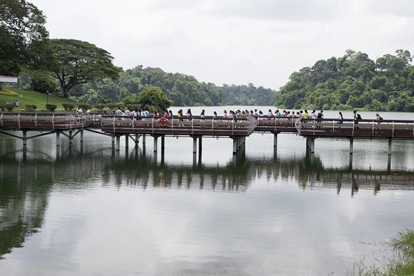 Children of Singapore Chorus walking across the bridge at MacRitchie Reservoir Park (Photo credit: Dr Vilma D'Rozario)