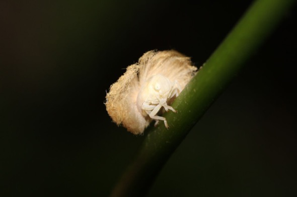 What am I? Mind you, I am not just a bit of fluff, I am a forest dweller! Planthopper nymph (Fulgoroidea). (Photo credit: Zhang Xu Cheng)