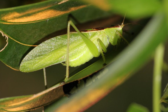 What am I? I am a katydid, a close cousin of the cricket, and one of the approximately 250 species of orthopterans in Singapore. (Photo credit: Zhang Xu Cheng)