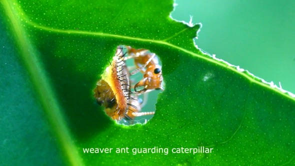 "Stills from ""Unseen Undergrowth"" - scenes of colourful paper-thin nymph, and symbiotic relationship between weaver ant and caterpillar. Footage by Kwan Hun."
