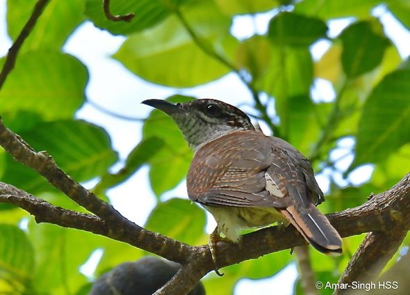 Banded Bay Cuckoo – conflict with Common Iora