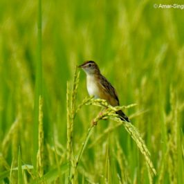 Zitting Cisticola  – nesting in rice fields
