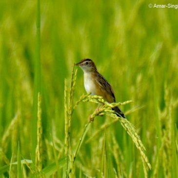 Zitting Cisticola  – nesting in rice fields