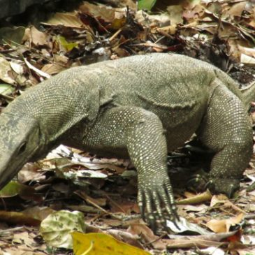 CLOUDED MONITOR FORAGING