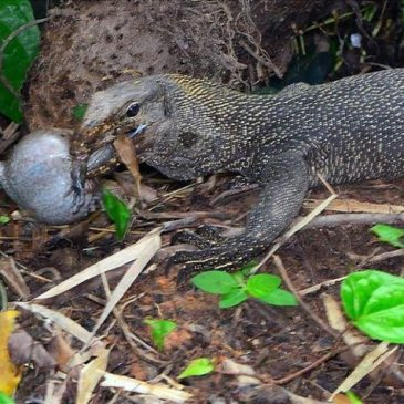 The Clouded Monitor and the Banded Bullfrog
