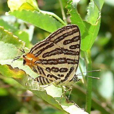 False Head in Lycaenid Butterflies