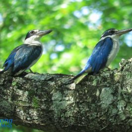 COLLARED KINGFISHER PREENING