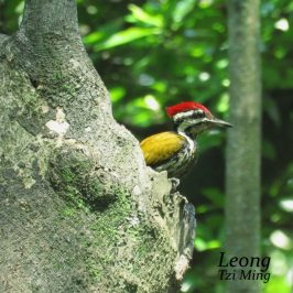 Common Flameback Dipping & Dancing