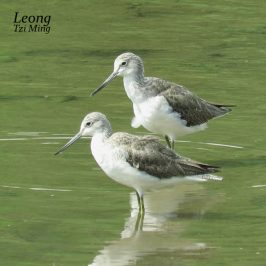 Common Greenshanks – Preening Interrupted