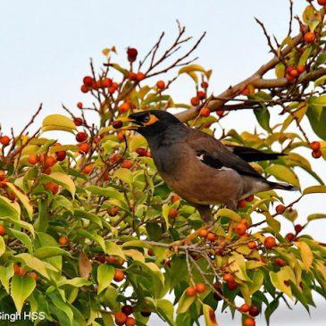 Common Myna– fruit feeding (new food source)