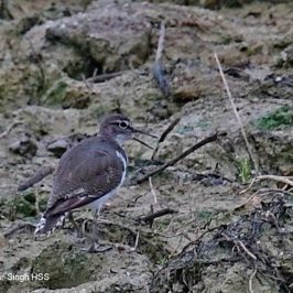 Common Sandpiper – calls