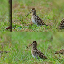 Common Snipe – gular flutter